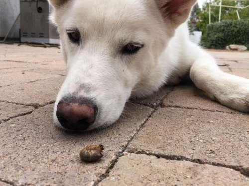 White Dog Looks at a Grub