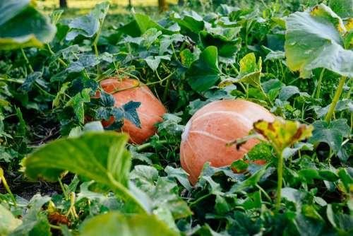 Big orange pumpkins in the garden 2