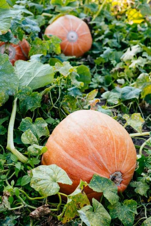 Big orange pumpkins in the garden 4