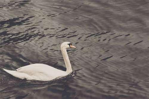 White Swan Free Photo
