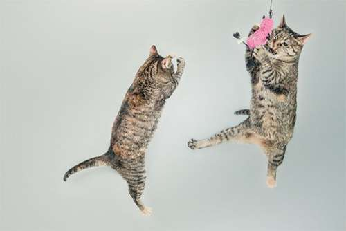 Jumping Cats Free Photo