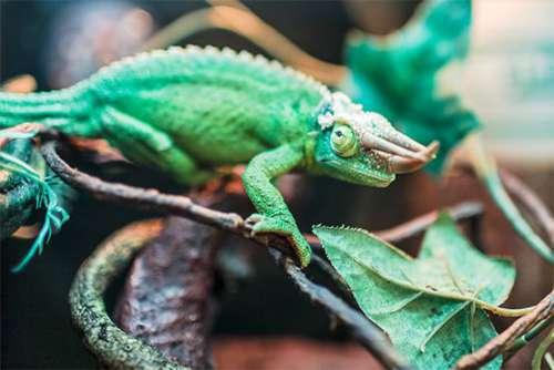 Chameleon Lizard Free Photo