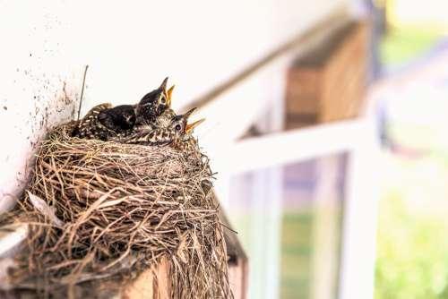 Baby Birds Free Photo