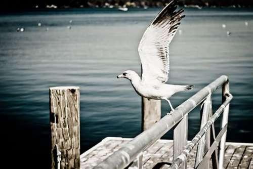 White Seagull Free Photo