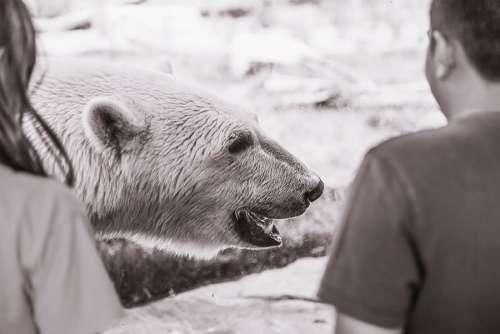 Polar Bear Free Photo