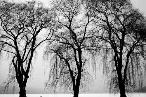 Black & White Trees in Winter Free Photo