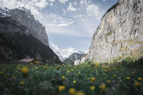 Yellow Flowers & Swiss Mountains