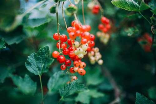 Berry Fruit & Green Bush