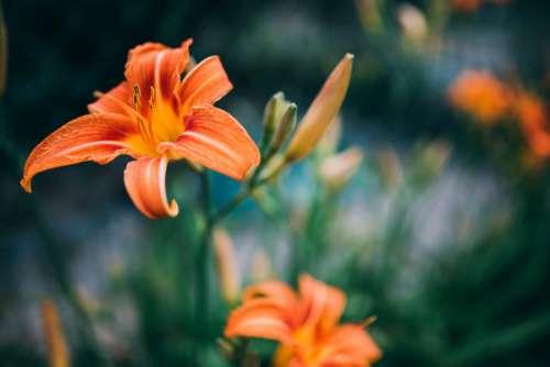Orange Summer Flower Close-up