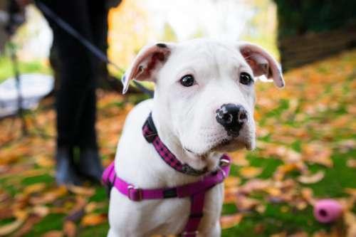 White Dog on Leash