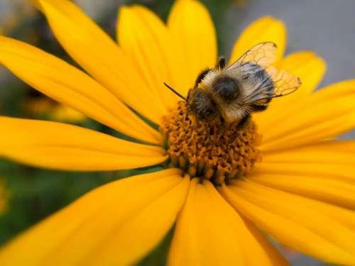 Bee on Spring Flower
