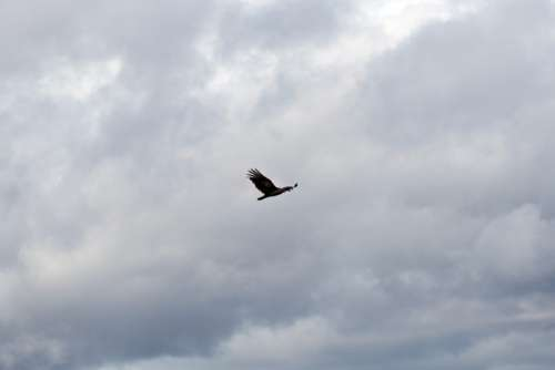 Bird Flying in Clouds