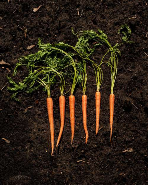 Carrots on Topsoil