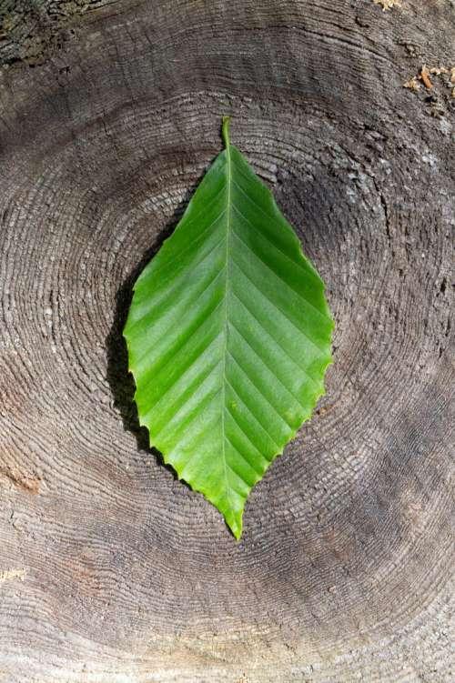 Leaf on Old Stump