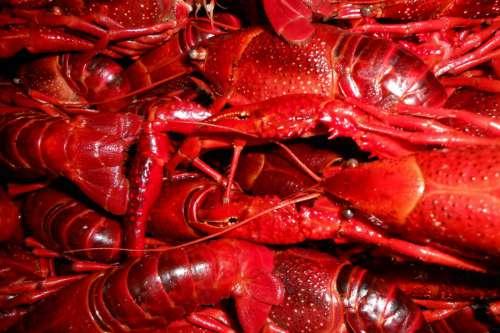 Red Crayfish