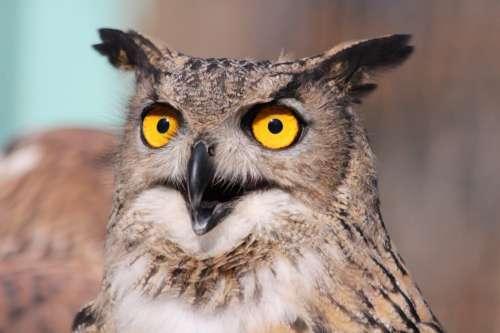 Surprised Owl