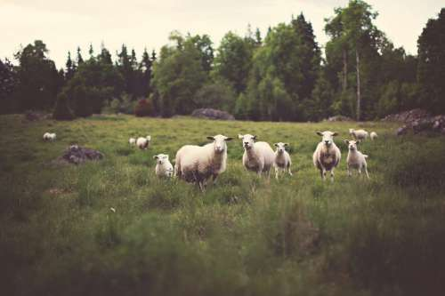 White Sheep in Field