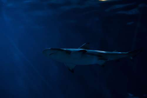 Shark in Sea Ocean