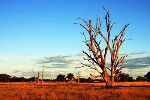 Tree in Australia Outback