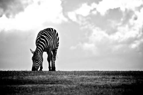 Wildlife Zebra Eating Black White
