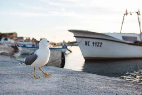 Seagull at Nessebar Port, Bulgaria