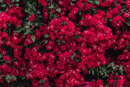Red flowers of bougainvillea tree, Portugal