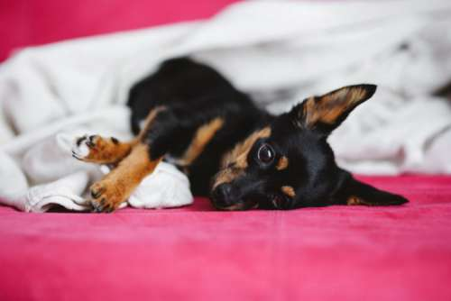 A cute puppy in a pink bed