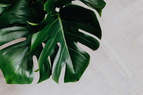Dark green leaves of monstera