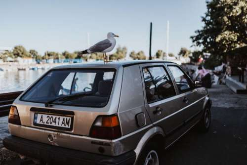 Seagull on a car roof