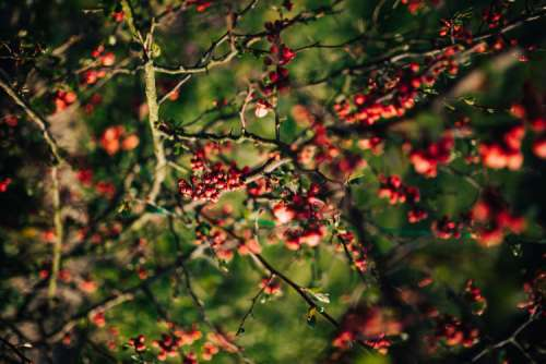 Red rowan on trees
