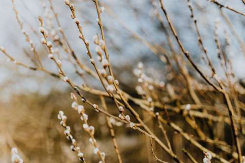Fresh spring catkin branches