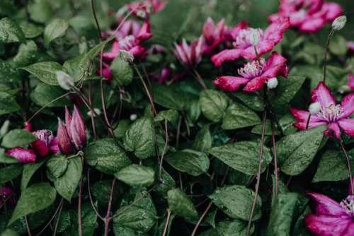 """Blooming clematis """"Niobe"""" in the garden"""