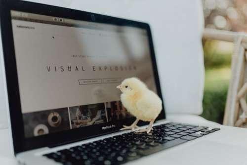 Newborn little chicken and laptop