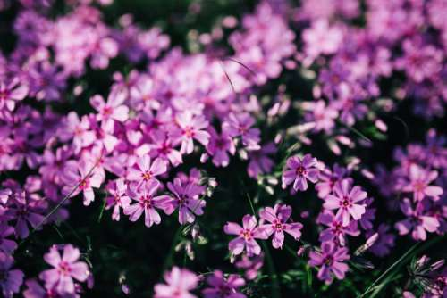 Pink flowers blooming in spring