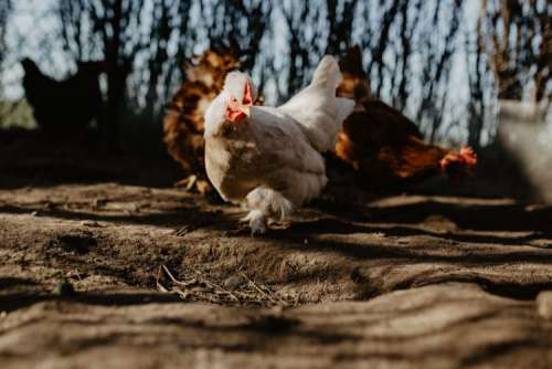 Farm chicken eating seeds