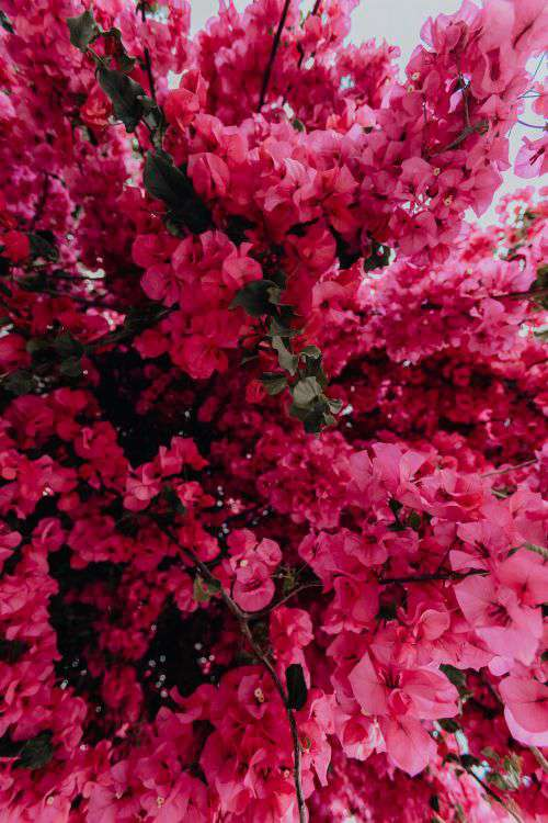 Pink bougainvillea flowers against the traditional Portuguese white house