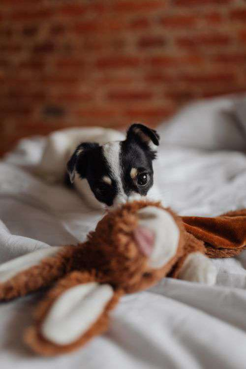 Little young black and white dog on the bed