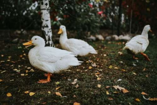 White ducks on the grass