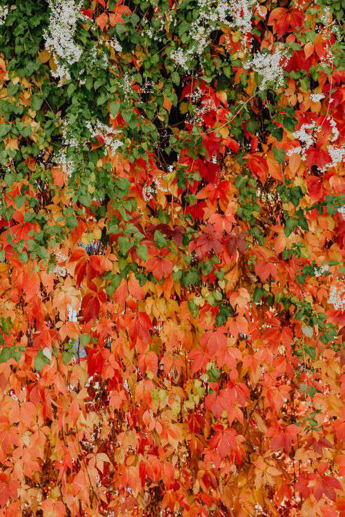 Colorful vines leaves in the park
