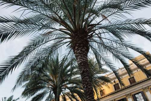 Palm trees in Spain