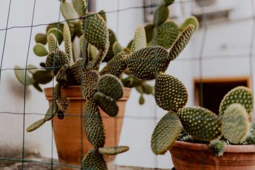Opuntia in a ceramic pot