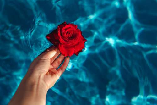 Fresh garden rose on the blue water of a swimming pool on a warm summer day