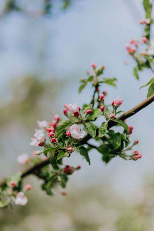 A blooming apple trees in spring