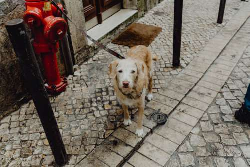 Dog tied up to a fire hydrant bollard, waiting for its master on the street outside