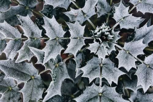 Detail of leaves covered in frost