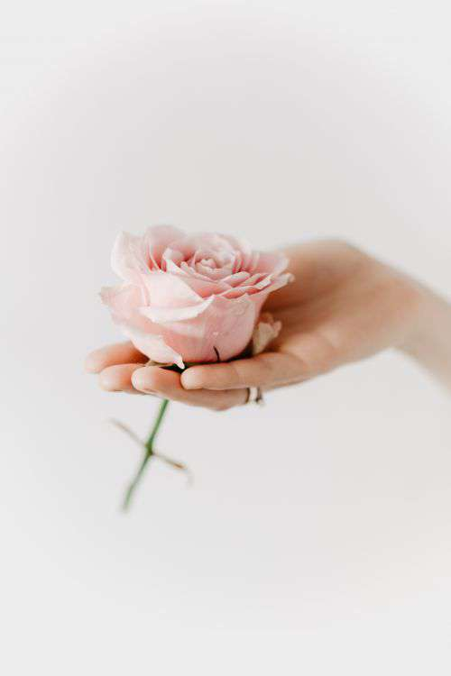 Holding a pink rose
