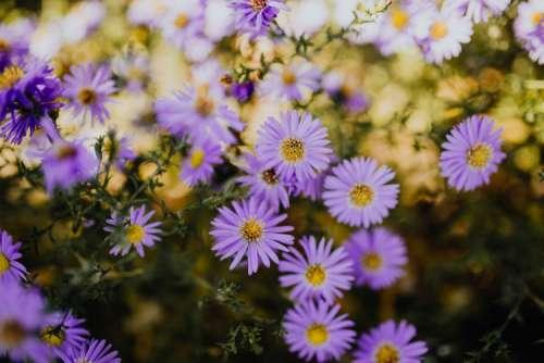 Small purple flowers in the garden