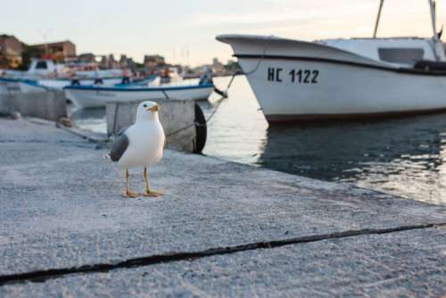 Seagull at Nessebar Port, Bulgaria