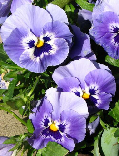 pansy purple lavender violet white