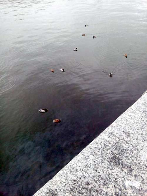 animals ducks duck birds swim